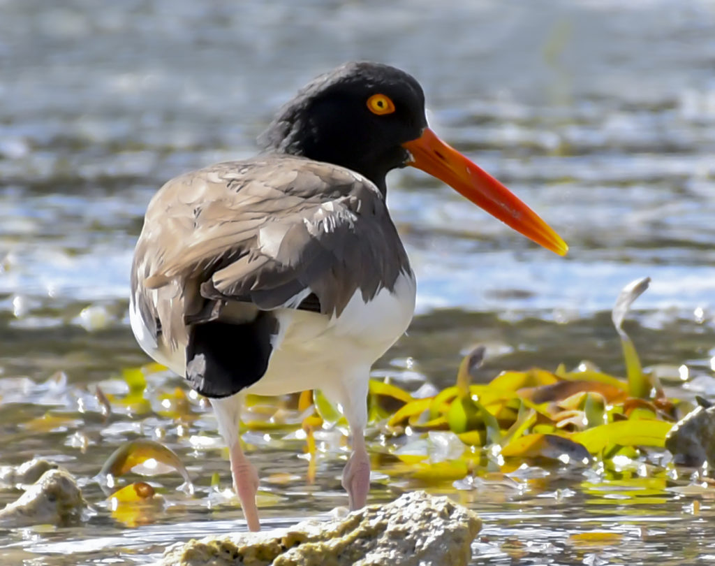 The oystercatchers have color-coordinated eyes and bills. (Photo by Gail Karlsson)