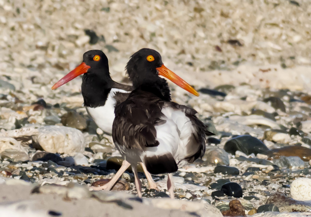 Bright bill colors may help oystercatchers find their soul mates. (Photo by Gail Karlsson)