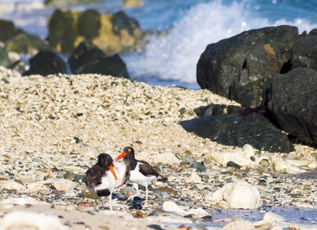 These oystercatchers seemed to be moving towards becoming a couple. (Photo by Gail Karlsson)