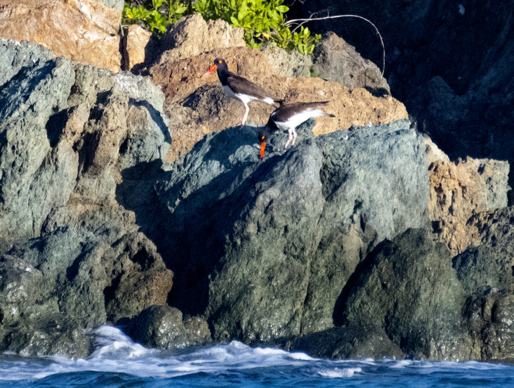 It seemed like the oystercatcher pair might have a nest on a small island. (Photo by Gail Karlsson)