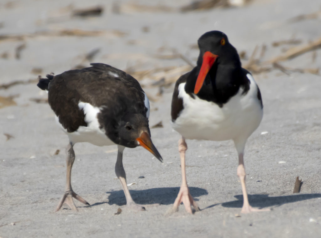 An oystercatcher chick nudged its parent for food. (Photo by Gail Karlsson)
