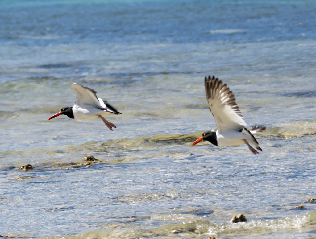 Oystercatchers often make loud piping cries as they fly. (Photo by Gail Karlsson)