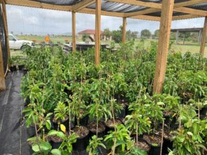 Island Spirit Fund and UVI CGTC bring fruit trees to farmers and the community to enhance food security.